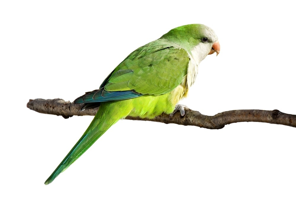 Quaker Parakeet white background