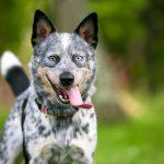 History of Queensland Heeler Dogs