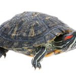 Red Eared Slider - Care Guide & Price