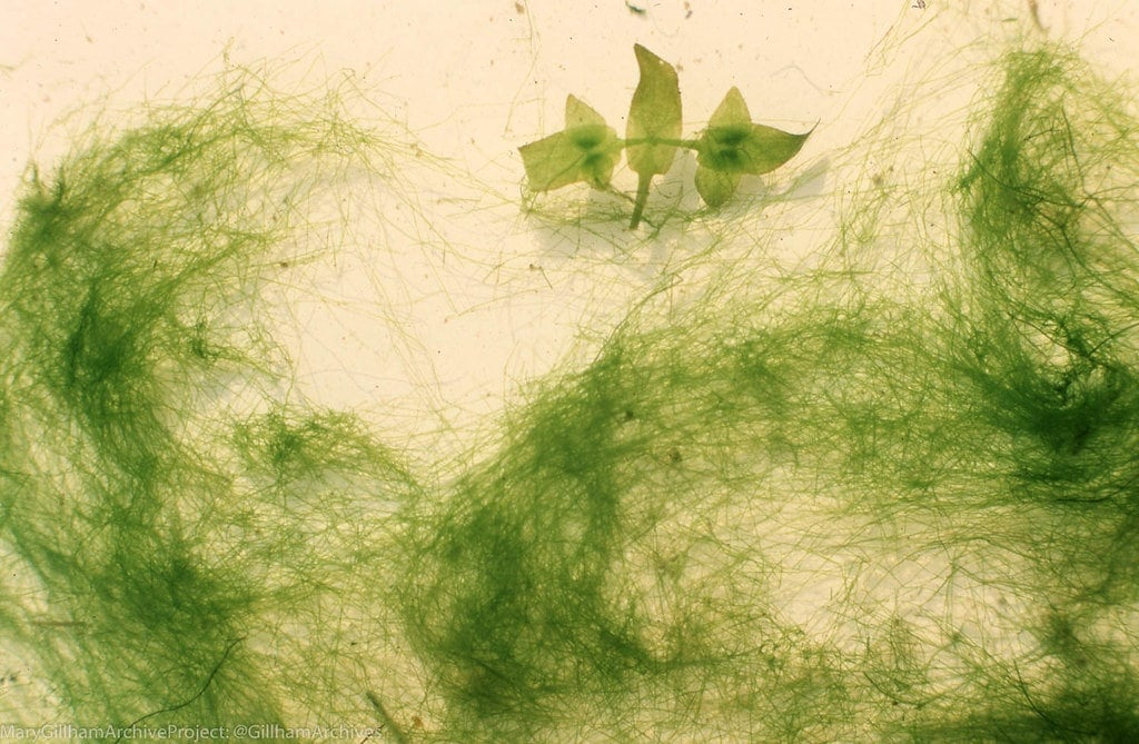 Rhizoclonium Algae