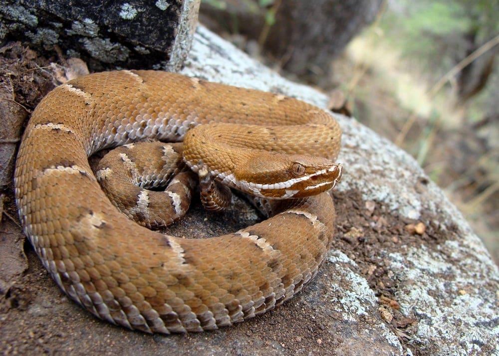 Ridge Nosed rattlesnakes