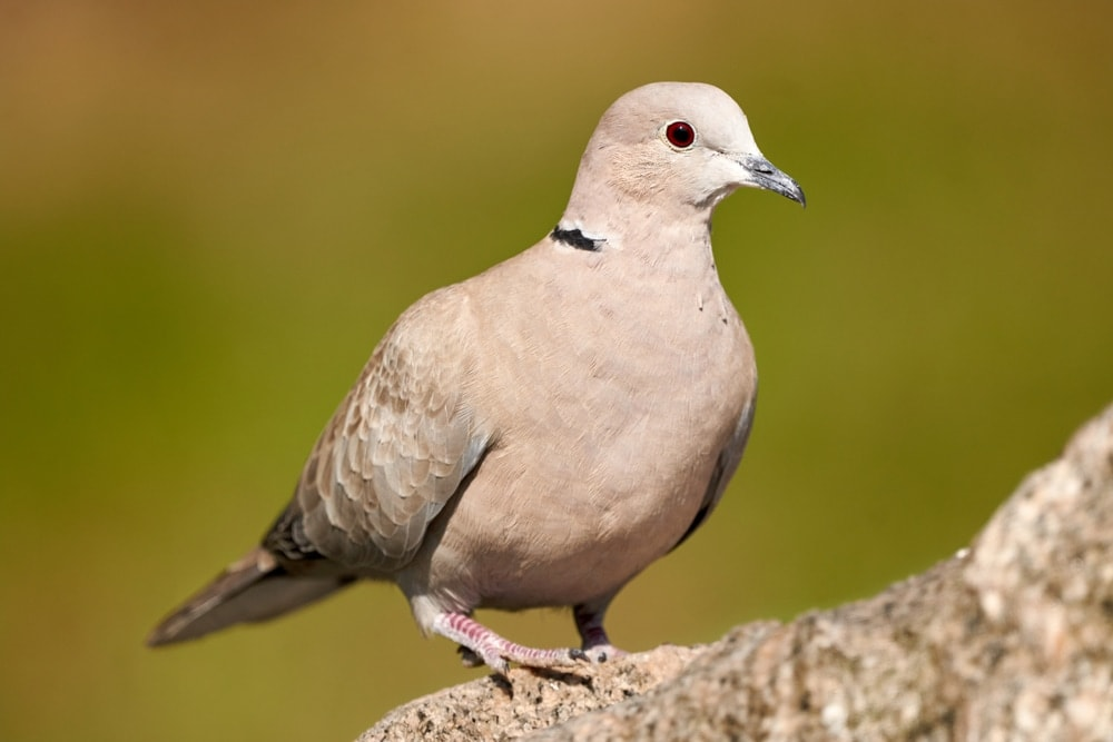 Ring necked Dove beautiful