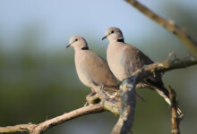 Ring-Necked Dove Care Guide, Info & Price