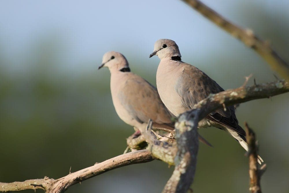 Ring necked Dove couple 1