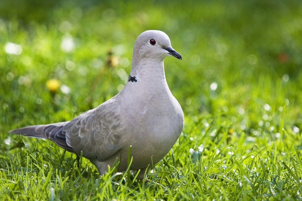Ring necked Dove in grass
