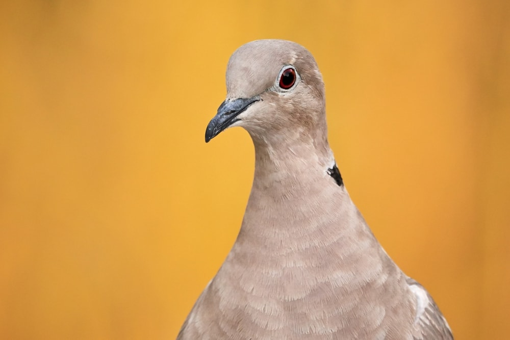 Ring necked Dove portrait