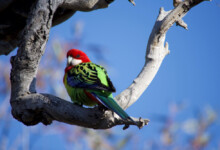 Rosella Care Guide - Types, Lifespan & More