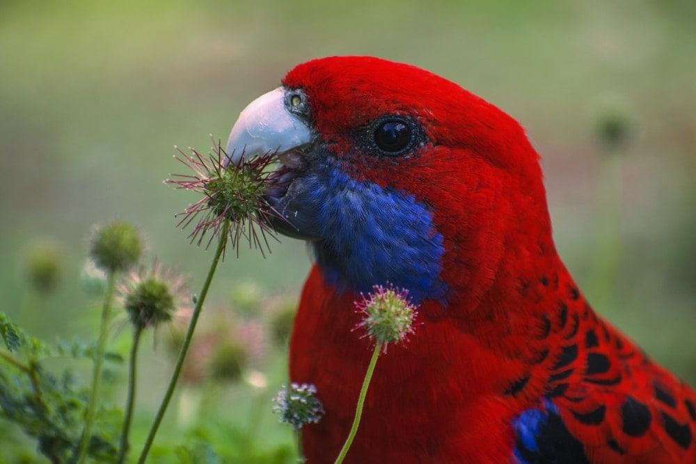 Rosella eating flower