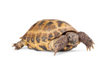 Russian Tortoise Care Guide & Prices
