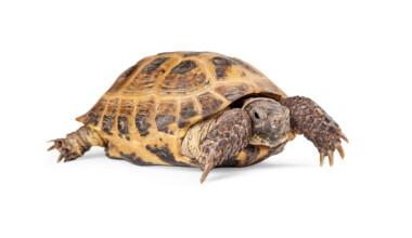 Russian tortoise wwhite bg