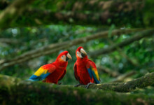 Scarlet Macaw Care Guide - Diet, Lifespan & More