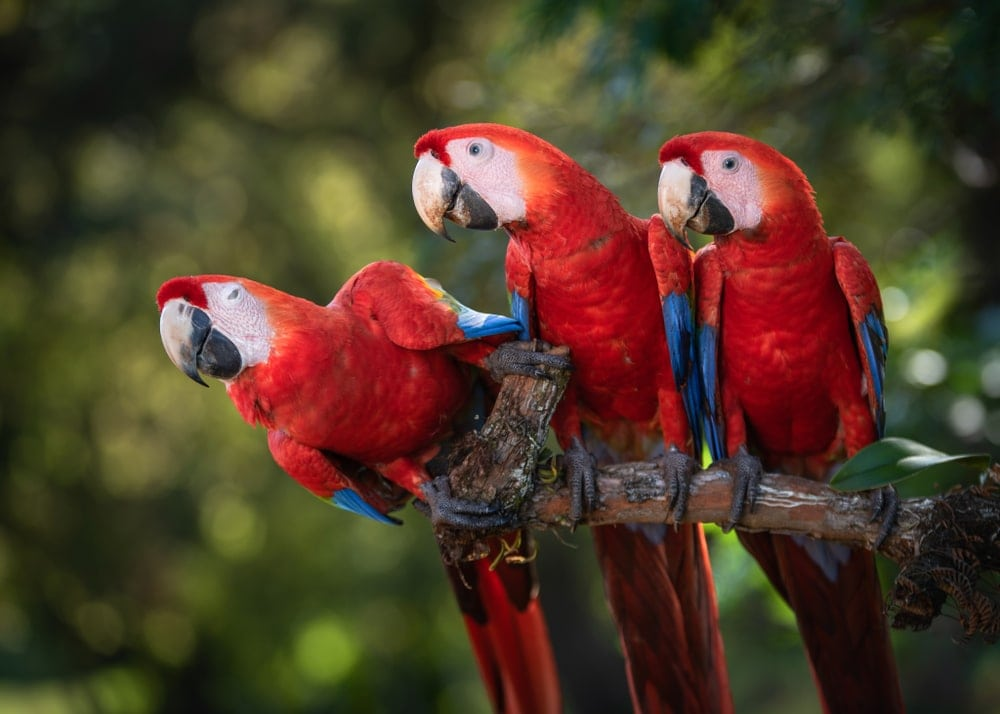 Scarlet Macaw on stick