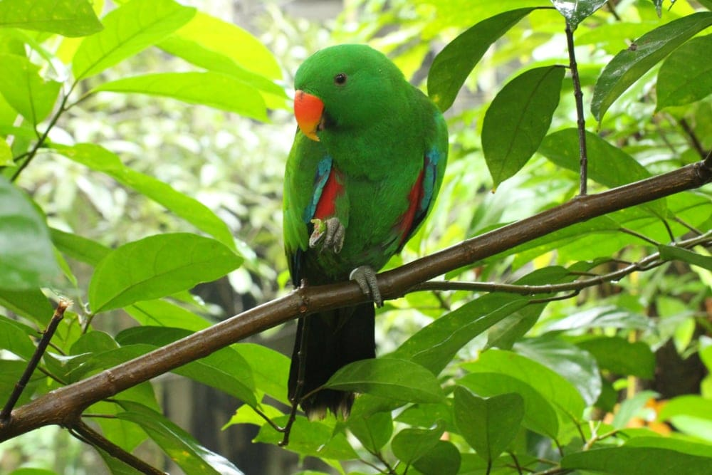 Soloman Islands Eclectus in forest