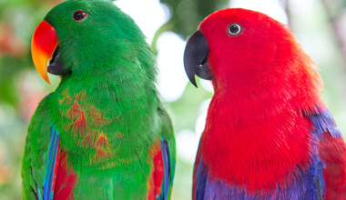 Soloman Islands Eclectus pair