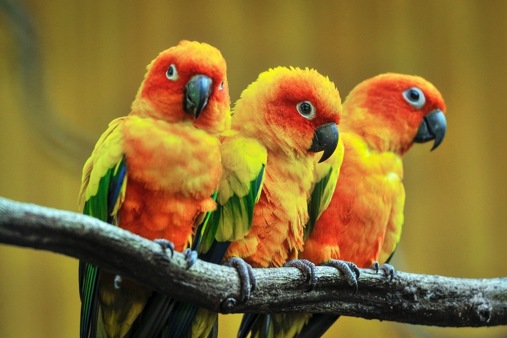 Sun Conure three