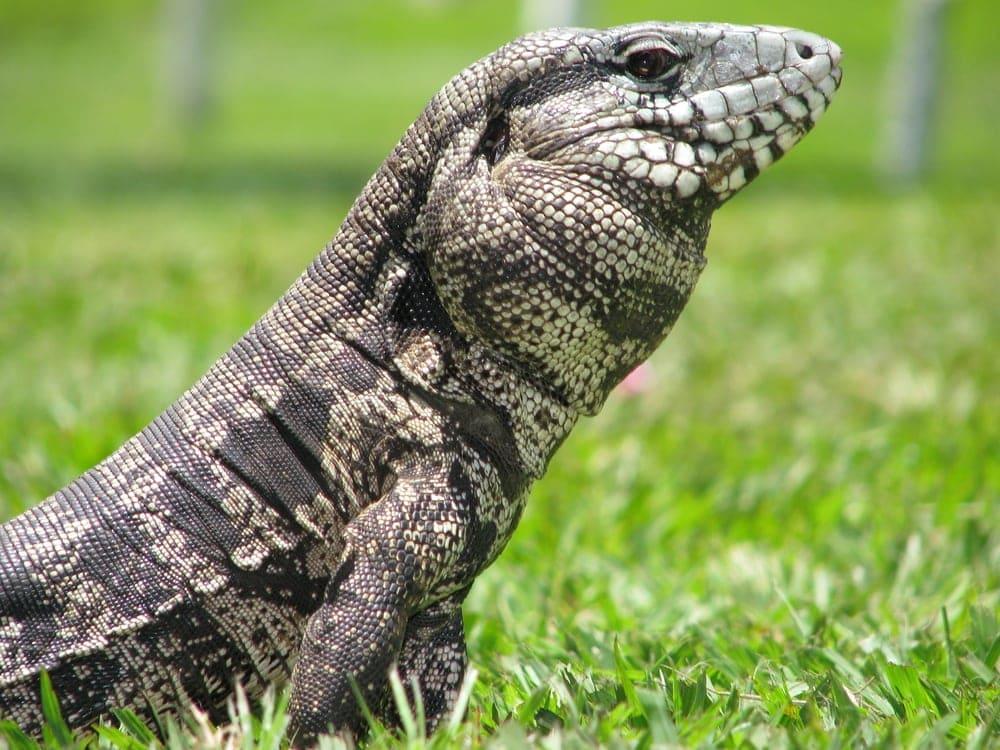 Tegu Lizard grass