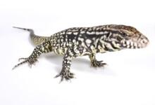 Tegu Lizard Care Guide & Price