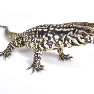 Tegu Lizard - Care guide & Price