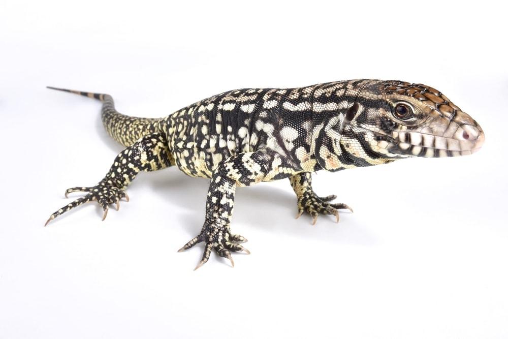 Tegu Lizard white bg