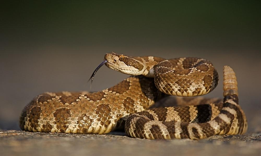 Western Rattlesnakes
