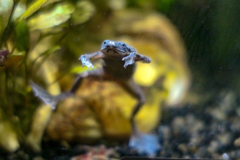 african dwarf frog swimming