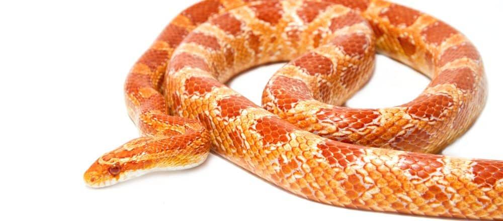 albino corn snake white 1 e1575735284249