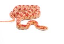 Albino Corn Snake Care guide and info