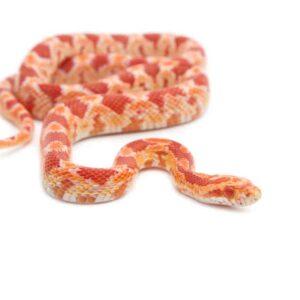 Albino Corn Snake - Care guide and info