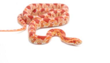albino corn snake white bg