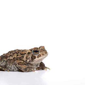 American Toad - Care Guide, feeding & Prices