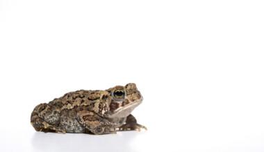 american frog white bg