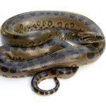 Are Anacondas Poisonous?