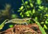 Amano Shrimp - Get rid of your Algae's & Care Guide
