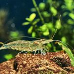 Amano Shrimp - Get rid of your Algae's & Care Guide