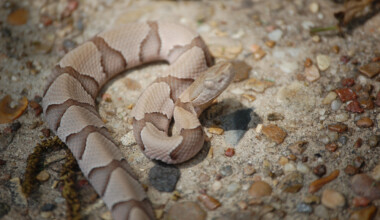 baby copperhead