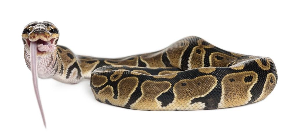 ball python 3