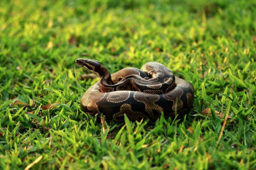 ball python at grass