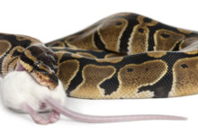 How Long Can A Ball Python Go Without Eating