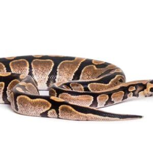 Ball python - Care guide & Prices