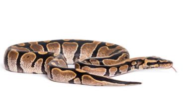 ball python white bg