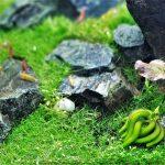 Aquarium Banana Plant (Banana Lily) Care Guide