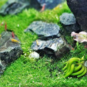 Aquarium Banana Plant: Banana Lily - Care Guide