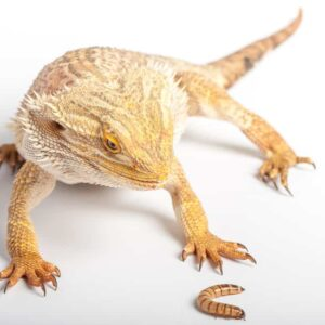 How Often Should You Feed A Bearded Dragon?