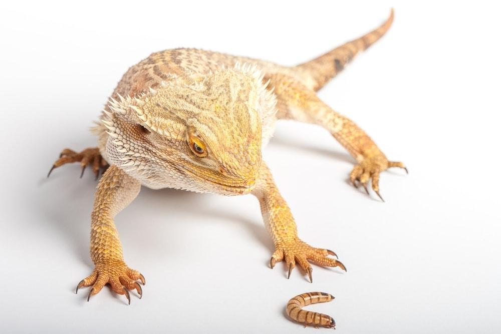 bearded dragon and larva
