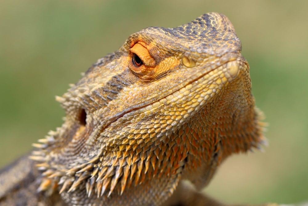 bearded dragon close