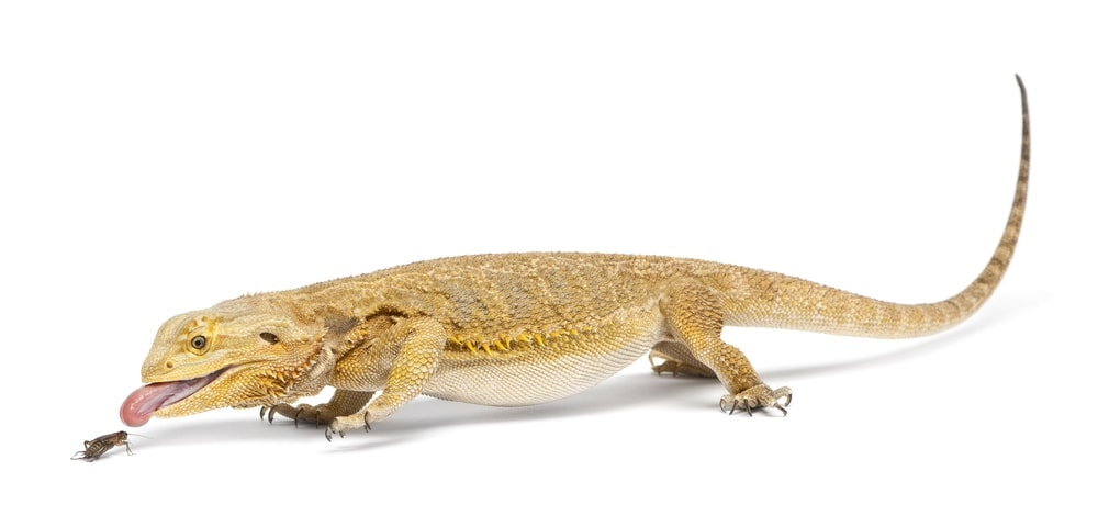 bearded dragon cricket 2
