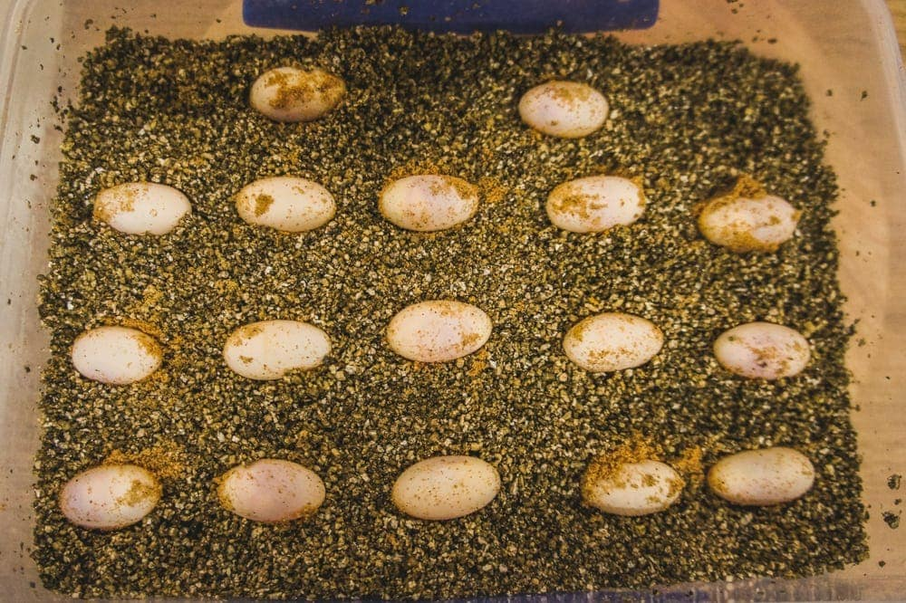 bearded dragon eggs