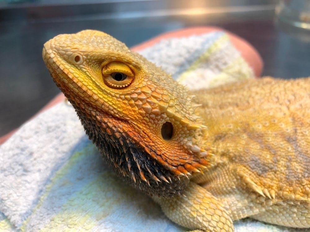 bearded dragon sick
