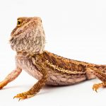 Easy Peasy Guide To Breeding Bearded Dragons