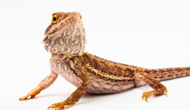 bearded dragon white background 2